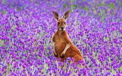 Top 5 places to spot Kangaroos south of Adelaide