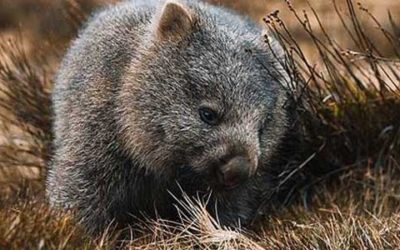 Top 5 best places to see wombats in Australia